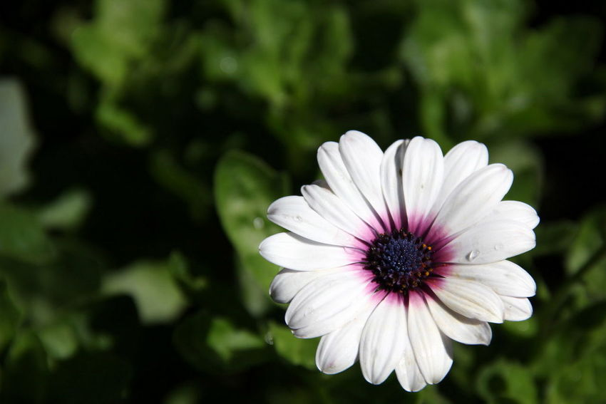 Beauty In Nature Blooming Close-up Day Flower Flower Head Focus On Foreground Fragility Freshness Growth Nature No People Osteospermum Outdoors Petal Plant White Color