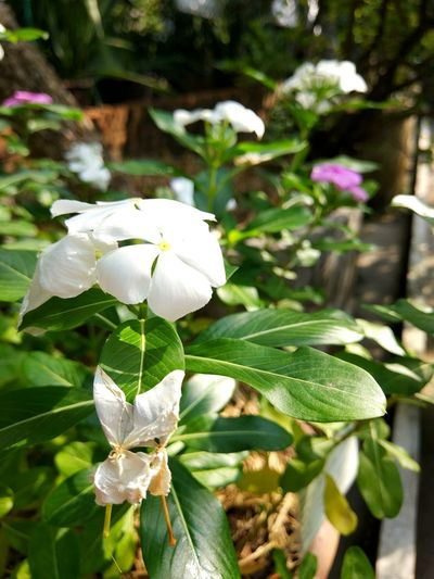 flower Plant Flowering Plant Flower Leaf Plant Part Beauty In Nature Petal White Color Flower Head Day Focus On Foreground Outdoors No People Close-up