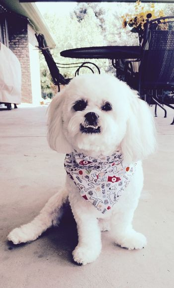 Looking so handsome after his groom 👍🏼 Cheese! Dog I Love My Dog Bichonfrise Shihtzu Handsome Cute Cute Pets Puppy Love Puppy