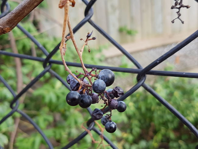 The Lady begins her sleep Focus On Foreground Fruit Close-up Nature Outdoors No People EyeEm Best Shots - Nature Purple Grapes In The Fall Fence Autumn 2016 Autumn Garden Macro Photography Beauty In Nature EyeEm Nature Lover Garden Photography Mobile Photography Eyeem Collection Eyeem Marketplace Eye4photography  EyeEm Gallery Popular EyeEm Best Shots - Autumn / Fall EyeEm Team The Week Of Eyeem Crafted Beauty