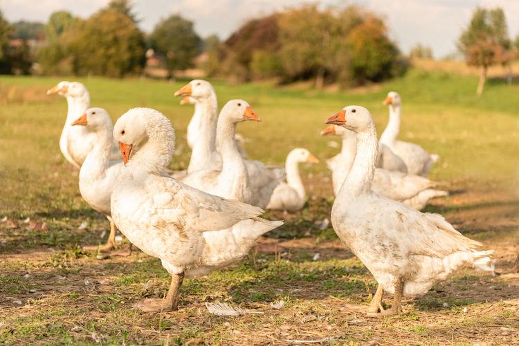 Flock of ducks on field in farm