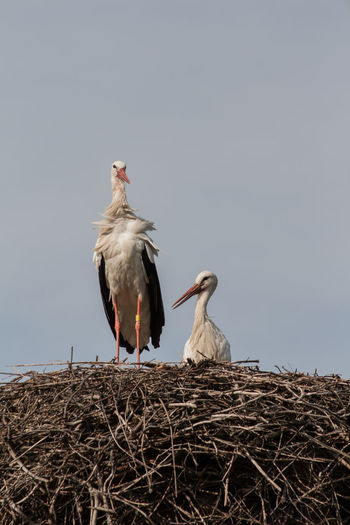 Storks Animal Themes Animals In The Wild Bird Clear Sky Germany Nature Pair Storks Storks Nest They Belong Together ❤ This Is Love ♥ Wildlife Showcase April