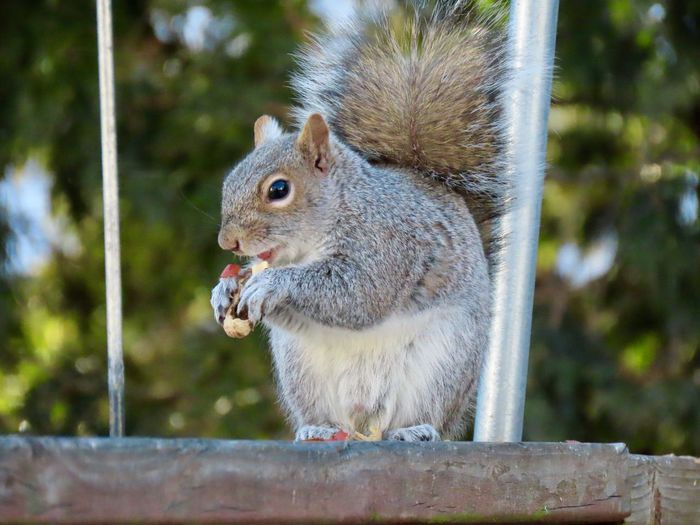Squirrel closeup perched on a wooden railing eating a peanut 🥜 animal themes EyeEm nature lover focus on the foreground Animal Wildlife One Animal Animals In The Wild Rodent No People