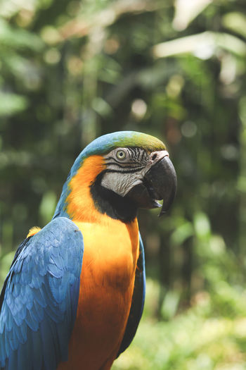 Close-up of gold and blue macaw looking away
