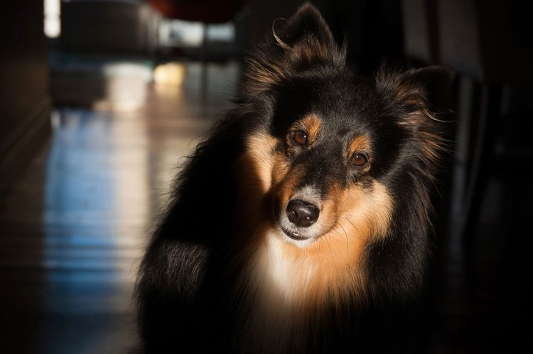 Fresh On Eyeem  Shetland Sheepdog Dogs Dog❤ Dog Love Nature Love Dogslife Dogs Of EyeEm