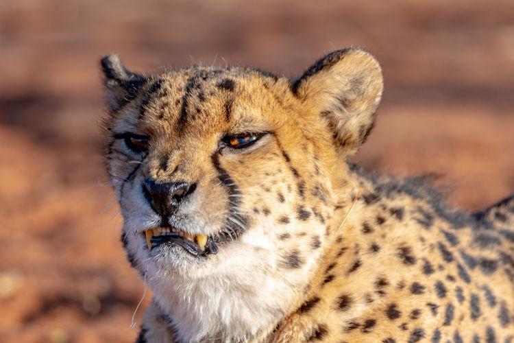The cheetah in namibia