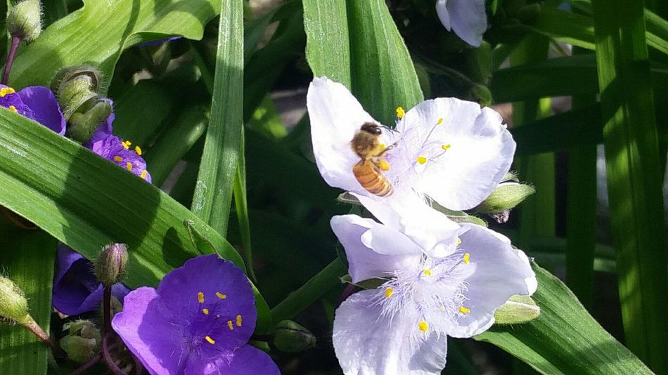 Honeybee And Spiderwort Taking Photos Colorsplash The Essence Of Summer In Bloom Nature Beauty In Nature Close-up Insect Photography Flowers From My Garden Purple And Green Flowers, Nature And Beauty