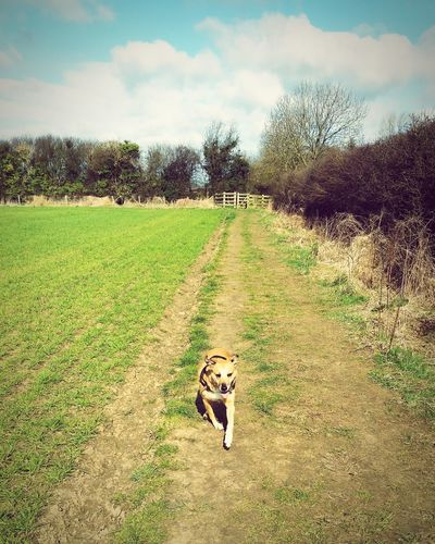 Small And Swift Dog Running Free North Yorkshire Outdoors Walk Countryside
