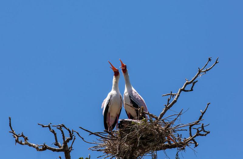 Low Angle View Of Birds In Nest On Bare Tree Against Clear Blue Sky
