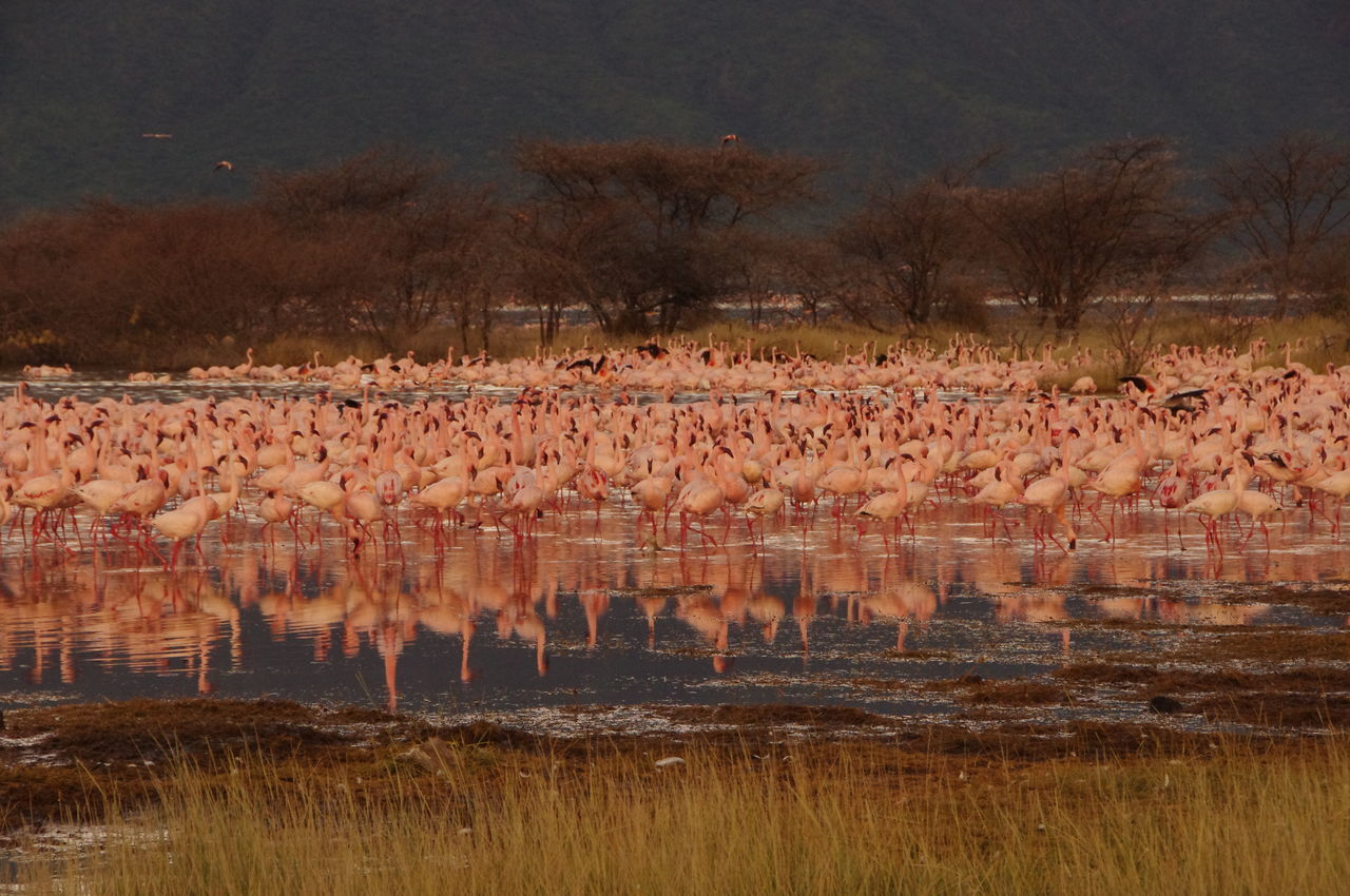 Colony of Lesser flamingos, Lake Bogoria, Kenya Africa Animal Themes Animal Wildlife Animals In The Wild Beauty In Nature Bird Colony Flamingo Grass Kenya Landscape Large Group Of Animals Lesser Flamingo Nature No People Outdoors Phoeniconaias Phoeniconaias Minor Phoenicopterus Safari Animals Scenics Standing Water фламинго 火烈鸟