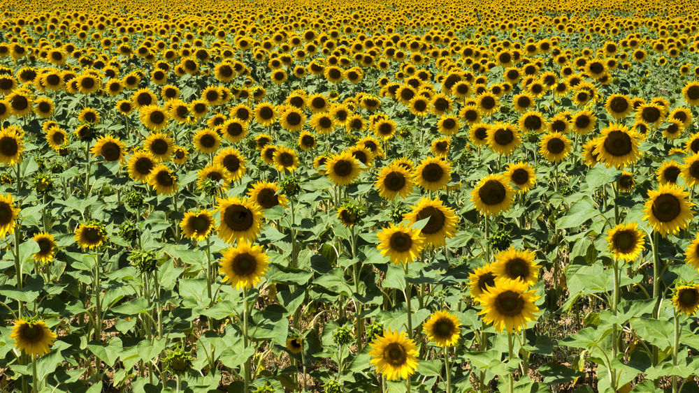 France Francia Provence Backgrounds Beauty In Nature Close-up Day Flower Flower Head Fragility Freshness Full Frame Green Color Growth Nature No People Outdoors Plant Provenza Sunflower Yellow Paint The Town Yellow