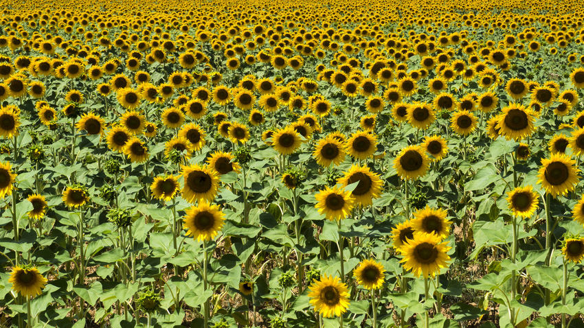 France Francia Provence Backgrounds Beauty In Nature Close-up Day Flower Flower Head Fragility Freshness Full Frame Green Color Growth Nature No People Outdoors Plant Provenza Sunflower Yellow Paint The Town Yellow The Great Outdoors - 2018 EyeEm Awards