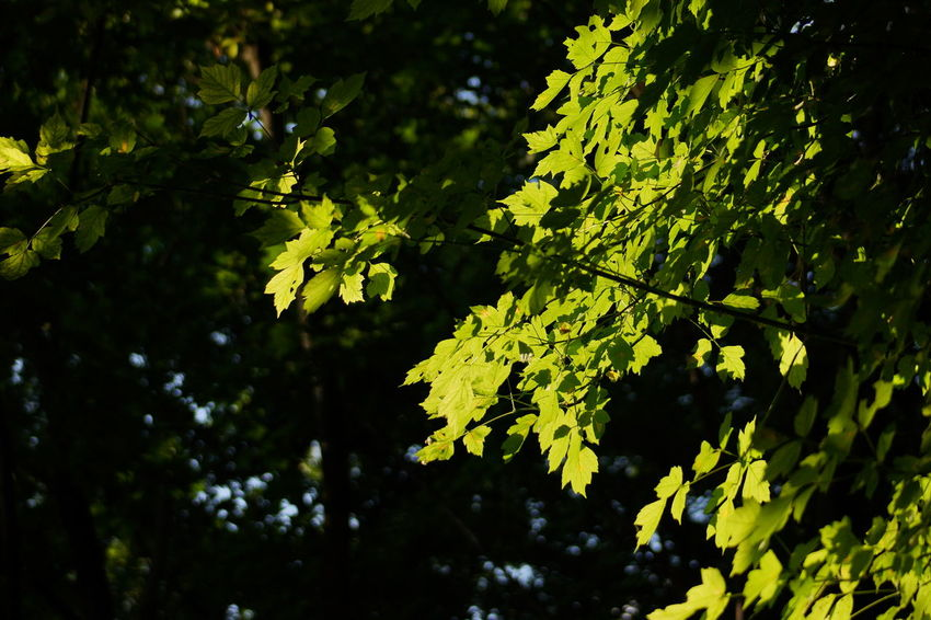 Leaf Nature Tree Outdoors Yellow Close-up Green Color Day Branch Fruit Growth No People Scenics Beauty In Nature Luminosity Freshness EyeEm Best Shots Tree Trunk Plant EyeEm Nature Lover Green Color Freshness Sunlight No Cars In This Picture Full Frame Sommergefühle Sommergefühle