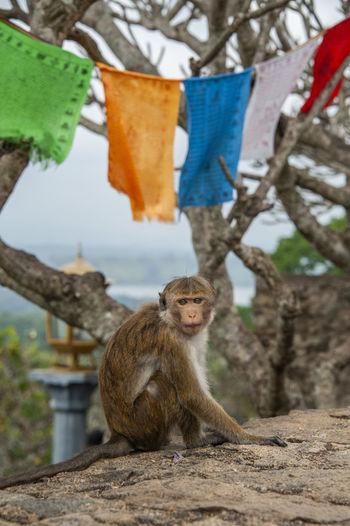 Monkey in dambulla cave temple - sri lanka