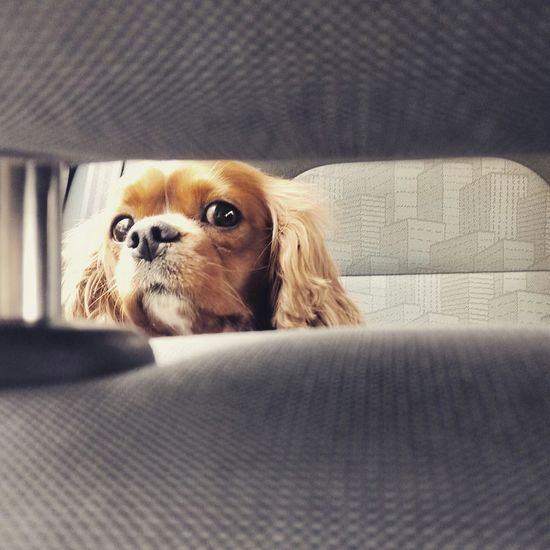 Cavalier King Charles Spaniel Dog Animal Darling MyDarling