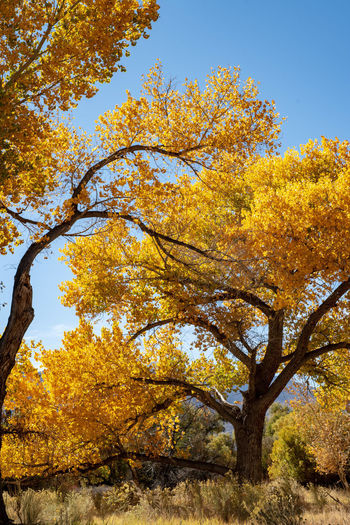 Golden yellow autumn leaves on tree in October in California USA Autumn Tree Plant Change Beauty In Nature Yellow Nature No People Growth Day Orange Color Tranquility Sky Branch Leaf Plant Part Outdoors Low Angle View Clear Sky Scenics - Nature Fall Autumn Collection Natural Condition Tree Canopy