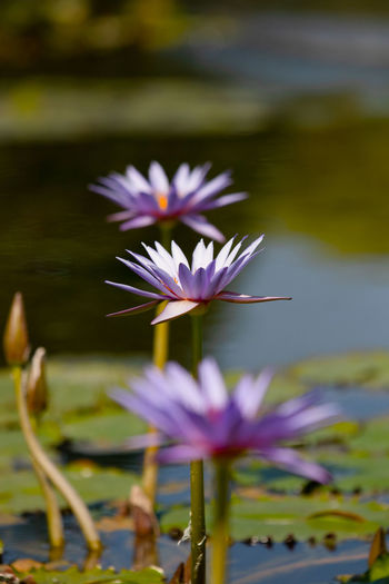 Close-up of purple water lily in lake