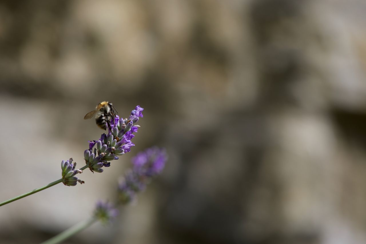 flower, nature, fragility, insect, day, selective focus, outdoors, animal themes, beauty in nature, purple, one animal, plant, no people, growth, animals in the wild, freshness, close-up