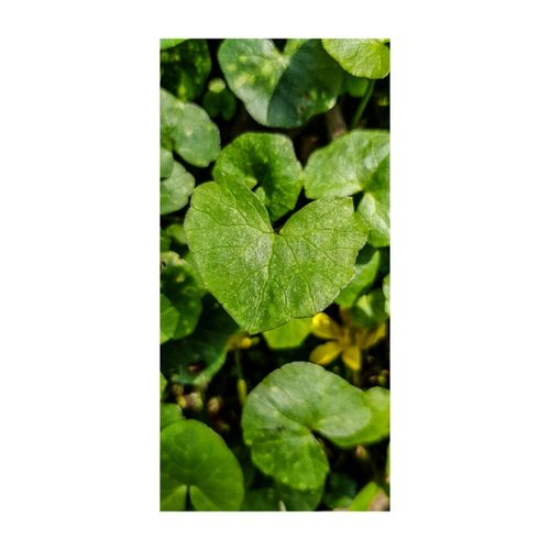 Heart Leaves Nature Countryside Outdoors Country Life Leaf Close-up Plant Green Color Leaves Plant Life