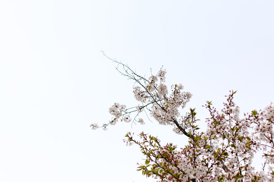 cherry blossoms (spring, 2016) #cherryblossom Beauty In Nature Blossom Branch Day Flower Freshness Growth Low Angle View Nature No People Outdoors Plant Sky Springtime Tranquility Tree Cherry Blossoms Cherry Blossom Negative Space My Year My View