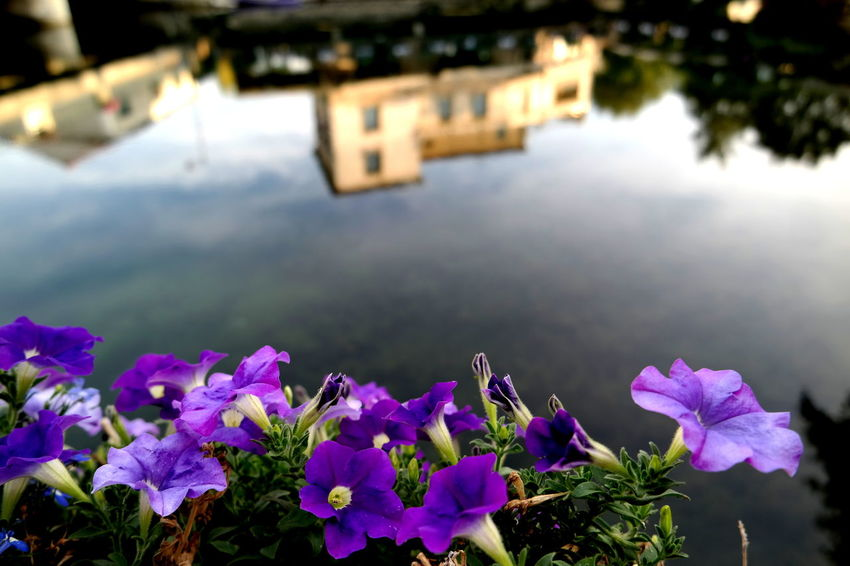 Beauty In Nature Blossom Bokeh Bokeh Photography Eye4photography  EyeEm Best Shots Flower Flower Head Focus On Foreground Fragility France Freshness From My Point Of View Isle Sur Sorgue Isle-sur-la-Sorgue L'Isle-sur-la-Sorgue, France Petal Provence Purple Reflection The Week On EyeEm Tranquility Water Water Reflection Waterfront