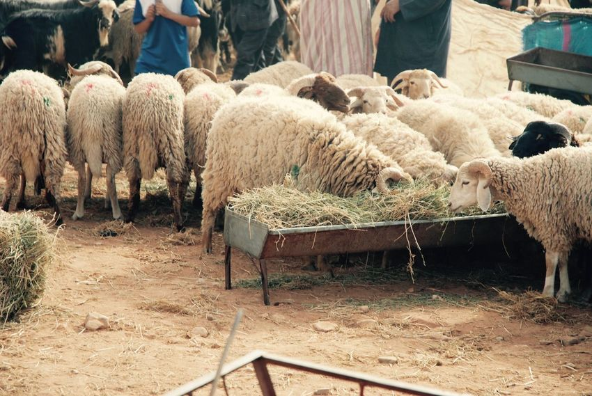 50 Sheep Pictures Hd Download Authentic Images On Eyeem