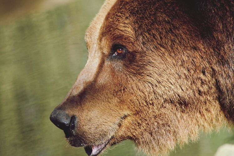Close-up of grizzly bear