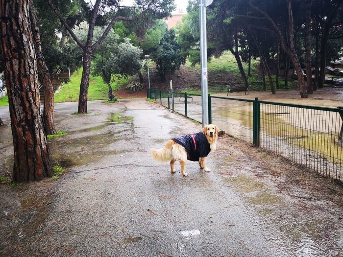 Rainy days are funny days Best Friend Golden Retriever Dog Coat Rainy Days Dogs Of Barcelona Dogs Of EyeEm No Filter Pursue What You Love Pets Tree Dog Pet Equipment Dog Lead Retriever Canine Purebred Dog