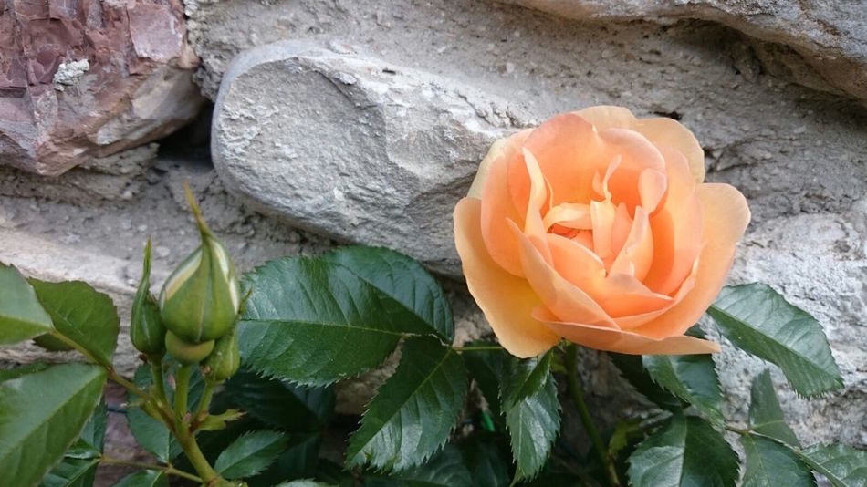 Beauty In Nature Blooming Close-up Day Flower Flower Head Fragility Freshness Growth Leaf Nature No People Orange Rose Outdoors Peach Rose Petal Plant Rose - Flower