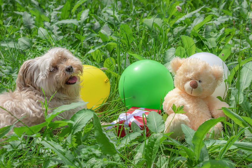 Cute furry dog sitting on the green grass, guarding a bunch of colorful balloons, a red gift, and a teddy bear, on a sunny day of summer. Animal Animal Themes Bichon Bichon Havanese Canine Celebration Cute Dog  Dog Dog In Grass Domestic Animals Green Color Mammal Nature No People Pets Toy