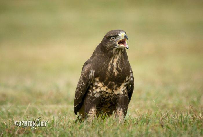 Don't mess with me Wildlife Nature Animal Bird Belgium EyeEm Selects Buzzard  Birdsofprey Original Experiences Birdsofeyeem