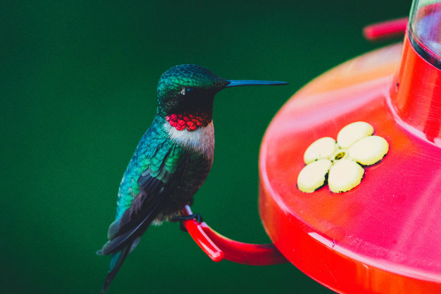 Animal Themes Animal Wildlife Animals In The Wild Bird Bird Feeder Close-up Day Freshness Hummingbird Nature No People One Animal Outdoors Perching Red