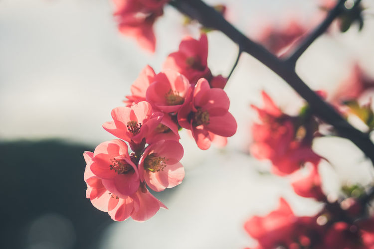 Flower Blossom Nature Beauty In Nature Fragility Plant No People Flower Head Day Close-up Growth Petal Springtime Sky Pink Flower Blurry Bokeh
