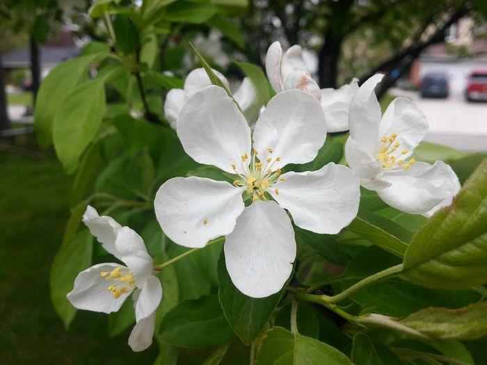 Blossom Tree Blossoms  Blossoming Tree Blossom Close Up Closeup