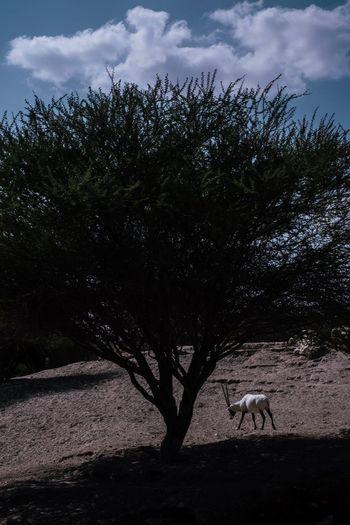 Arabian Oryx in