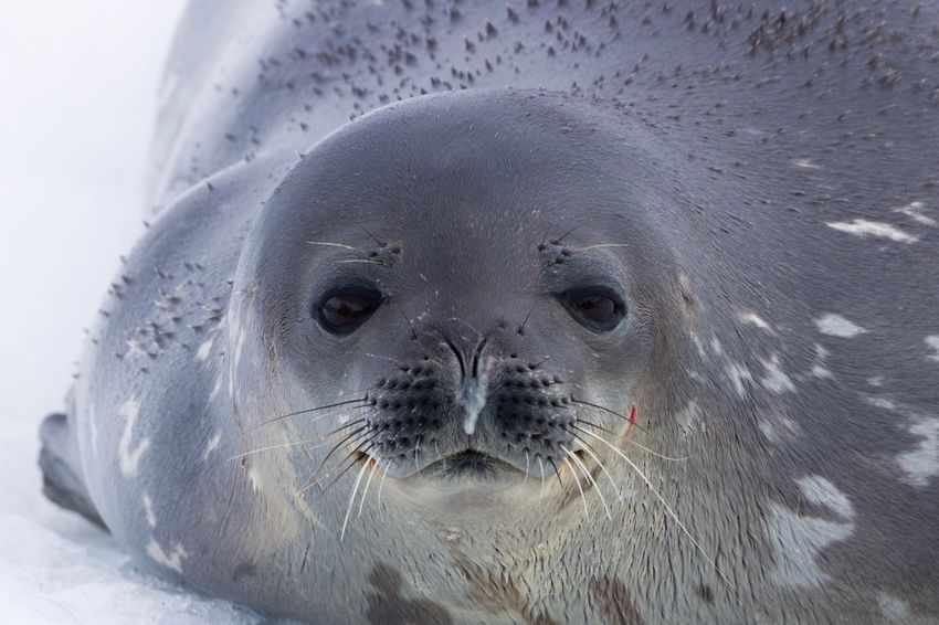 Closeup of a Weddell Seal relaxing on an iceberg in Antarctica. Beauty In Nature Animal Wildlife Animals In The Wild One Animal Seal - Animal Aquatic Mammal Looking At Camera Animal Head  Close-up Mammal Nature Sea Life Animal Themes Animals In The Wild Antarctica Antarctic Peninsula Antarctic Experience Antarctic Weddell Seal Nature