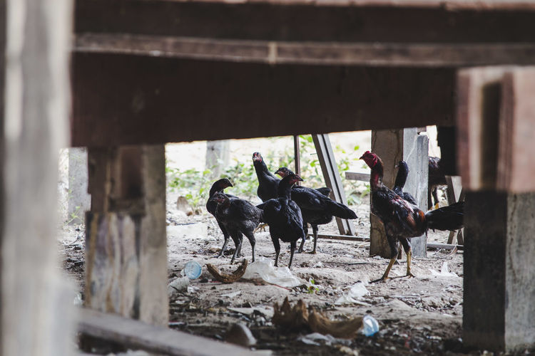 Chickens in farm seen through wooden railing
