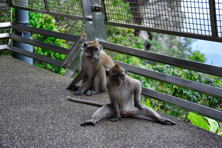 Crab-eating macaques, macaca fascicularis, also known as the long-tailed macaques in malaysia