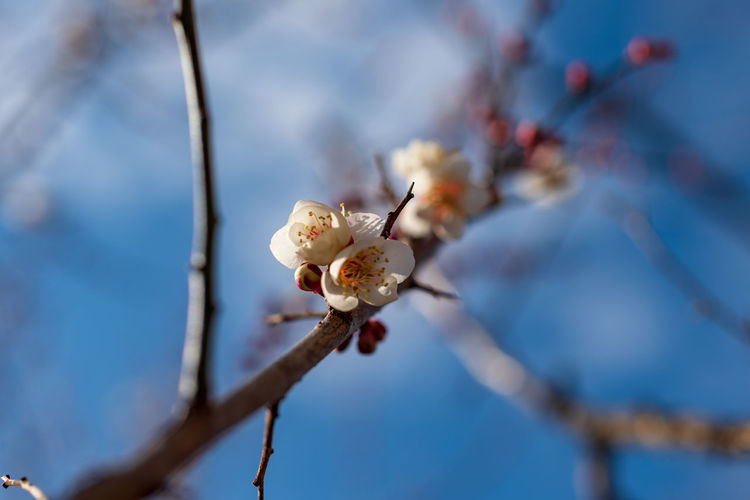 Plant Flower Flowering Plant Fragility Beauty In Nature Vulnerability  Growth Freshness Tree Branch Close-up Blossom Springtime Nature Focus On Foreground No People Petal Twig Selective Focus Pollen Flower Head Outdoors Plum Blossom Cherry Blossom