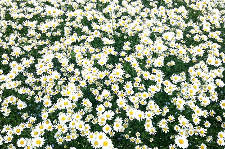 Flower Full Frame Nature Day Backgrounds Beauty In Nature Growth Outdoors Abundance Field No People Yellow Freshness Fragility Blooming Close-up Background Background Texture Pattern