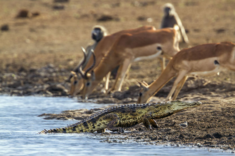 Crocodile moving by impalas on lakeshore