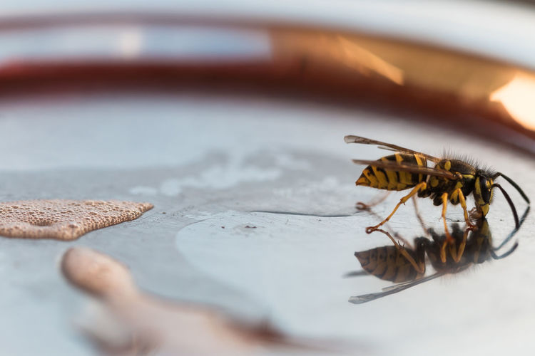Medium wasp, dolichovespula media, is drinking wheat beer with grapefruit from a coaster.