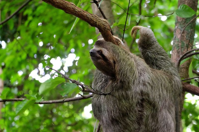 Close-up of sloth climbing on tree