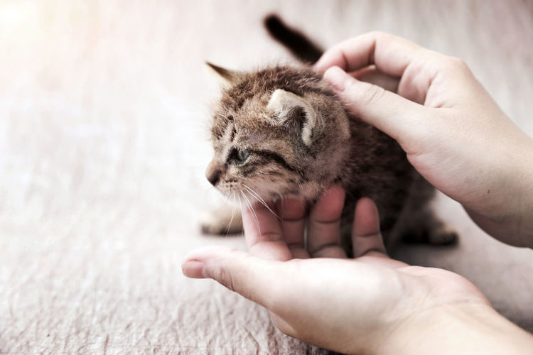 Human take care of adorable whisker cat in friendly pet concept