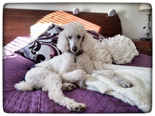 I Love My Dog Dogs My Dogs Are Cooler Than Your Kids EyeEm Best Shots Standard Poodle Pets Animals Taking Photos Cute Pets