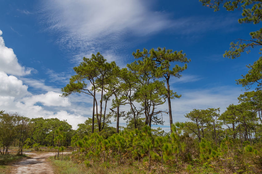 Pine Forest with blue sky at Phukradueng national park, Loei province, Thailand. Beautiful Blackground Family Grass Man National Park Pine Forest Pine Forests View Cliff Cliffside Colorful Elephant Flower Forest Health Healthy Landscape Ride Bicycle Sun Sunrise Sunset View Point Wild Elephant Women
