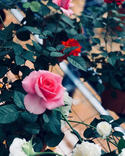 Plant Flower Freshness Flowering Plant Beauty In Nature Vulnerability  EyeEmNewHere Close-up Plant Part Petal Leaf Nature Growth Rosé Rose - Flower Pink Color