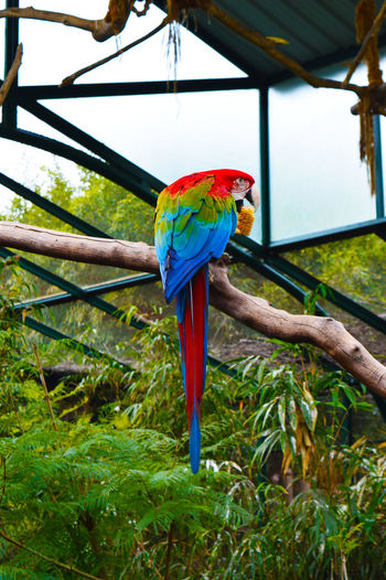 Fly Animals In The Wild Argentina Bird Close-up Multi Colored Nature One Animal Parrot Red Scarlet Macaw Tree