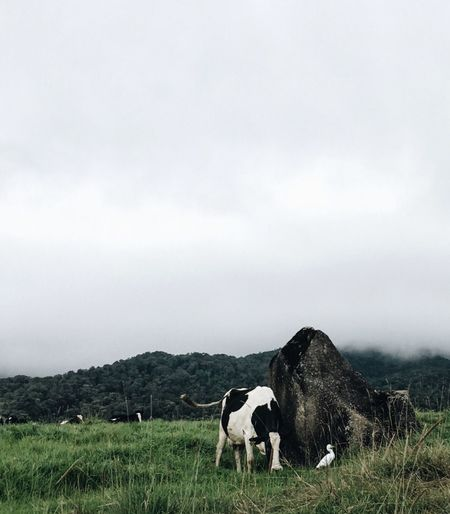 Cow Grazing On Field Against Cloudy Sky