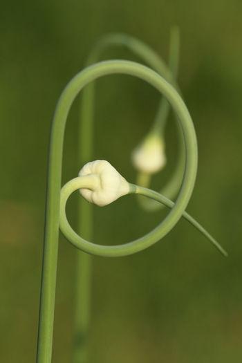 Close-Up Of Garlic Plant